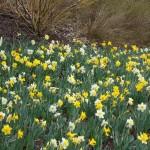 Daffodil Mix Planting