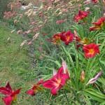 Daylilies and Yarrow