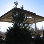 White Pine fronting shelter