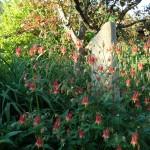 columbine-with-free-standing-stone