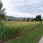cordgrass-along-road