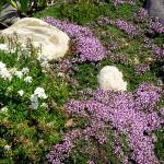 flowering-creeping-thyme